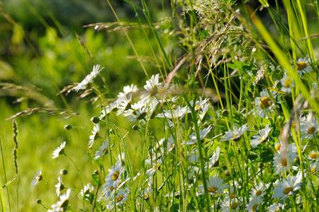 vulgare: Oxeye daisy  Leucanthemum vulgare flowers in green grass