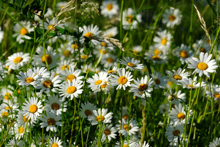 Oxeye daisy  Leucanthemum vulgare flowers in green grass photo