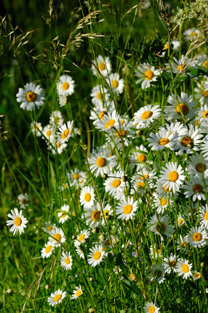 vulgare: Oxeye daisy  Leucanthemum vulgare flowers in green grass