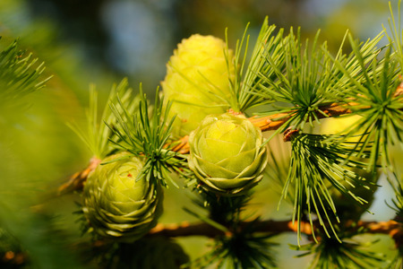 ovulate: Ovulate cones  strobiles  of larch tree in June, early summer Stock Photo