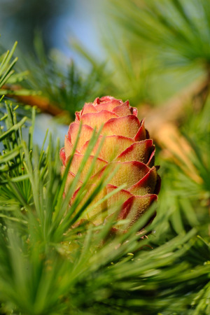 ovulate: Ovulate cone  strobilus  of larch tree in June, early summer Stock Photo