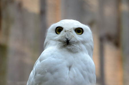 zoological: Portrait of snowy owl (Nyctea scandiaca) in zoological garden Stock Photo