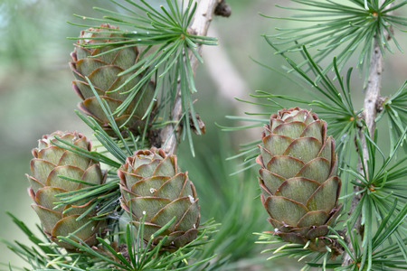 ovulate: Ovulate cones  strobiles  of larch tree in August, late summer