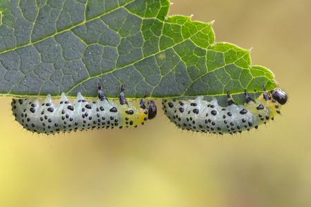 rec: Uva spina Sawfly (Nematus ribesii) catepillars nutrendosi di foglie di ribes rec