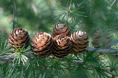 ovulate: Last years ovulate cones (strobiles) of larch tree in August, late summer