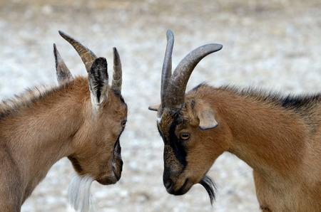 hircus: The domestic goat (Capra aegagrus hircus) is a subspecies of goat. Stock Photo