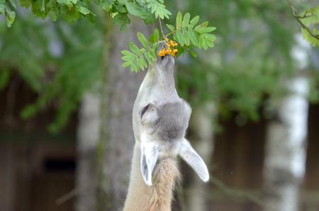 guanicoe: Guanaco (Lama guanicoe) eating rowanberries