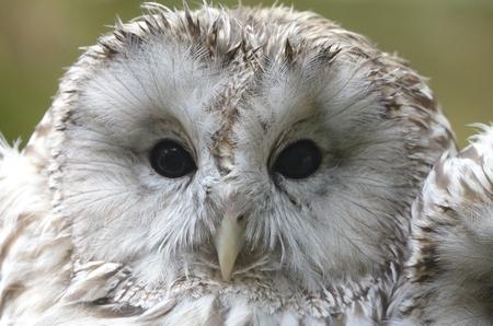ural owl: Portrait of Ural owl (Strix uralensis) in zoological garden
