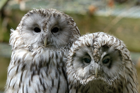 zoological: Ural owls (Strix uralensis) in zoological garden Stock Photo