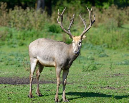 Pere David s deer Stock Photo