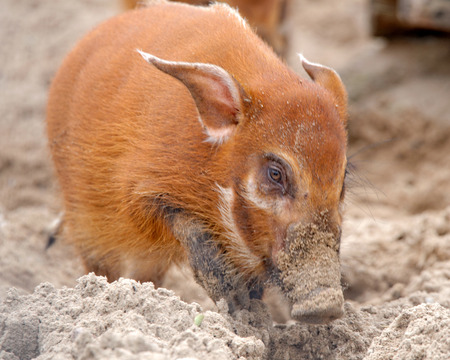 bush hog: Red river hog (Potamochoerus porcus), also known as the bush pig, is a wild member of the pig family living in Africa, with most of its distribution in the Guinean and Congolian forests.