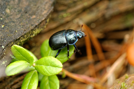 Forest dung beetle (Geotrupes stercorarius).