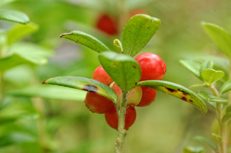 mountain cranberry: Foxberry - low evergreen shrub of high north temperate regions of Europe and Asia and America bearing red edible berries.