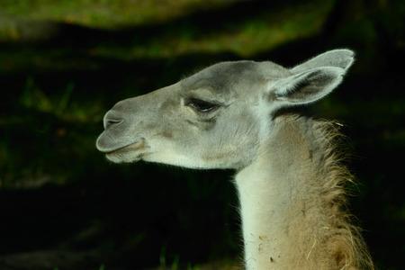 guanicoe: Guanaco (Lama guanicoe) is a camelid native to South America.