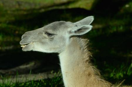 Guanaco (Lama guanicoe) is a camelid native to South America. photo