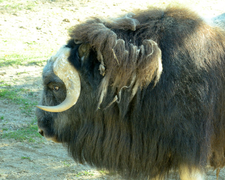 derives: Muskox (Ovibos moschatus) is an Arctic mammal of the family Bovidae, noted for its thick coat and for the strong odor emitted by males, from which its name derives.