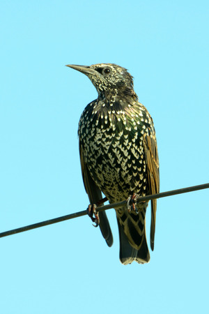 Common starling (Sturnus vulgaris), also known as the European starling or in the British Isles just the starling, is a medium-sized passerine bird in the starling family Sturnidae.