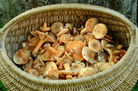 best known: Delicious milk cap is one of the best known members of the large milk-cap genus Lactarius in the order Russulales