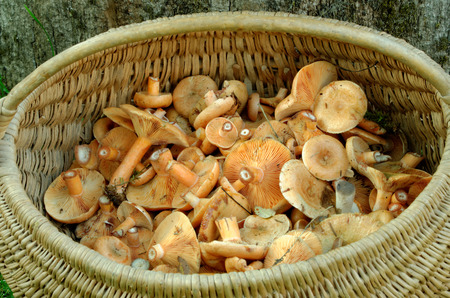 Delicious milk cap is one of the best known members of the large milk-cap genus Lactarius in the order Russulales