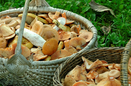 milkcap: Delicious milk cap is one of the best known members of the large milk-cap genus Lactarius in the order Russulales