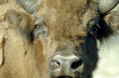 European bison (Bison bonasus), also known as wisent or the European wood bison, is a Eurasian species of bison.