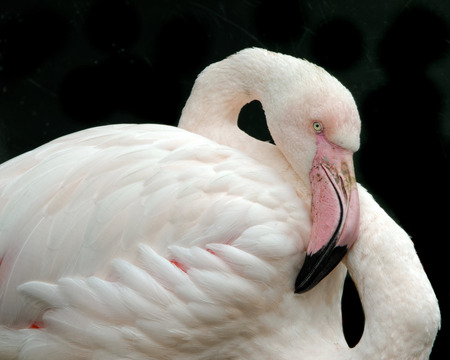 Greater Flamingo (Phoenicopterus roseus) is the most widespread species of the flamingo family. Stock Photo