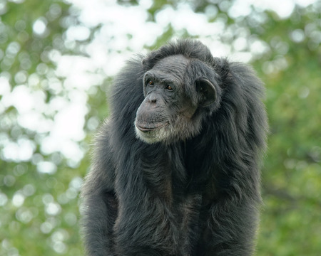 troglodytes: Common chimpanzee (Pan troglodytes), also known as the robust chimpanzee, is a species of great ape.