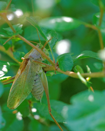 Tettigonia cantans is a species of katydids belonging to the family Tettigoniidae subfamily Tettigoniinae.
