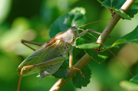 insecta: Tettigonia cantans is a species of katydids belonging to the family Tettigoniidae subfamily Tettigoniinae.