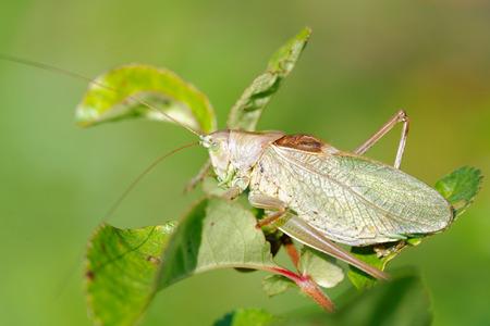 Tettigonia cantans is a species of katydids belonging to the family Tettigoniidae subfamily Tettigoniinae.