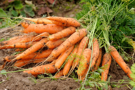 Fresh carrots, picked up from soil