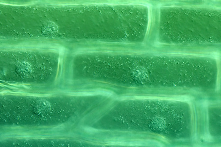 organelles: Cell walls and organelles of onion bulb scale epidermis cells Stock Photo
