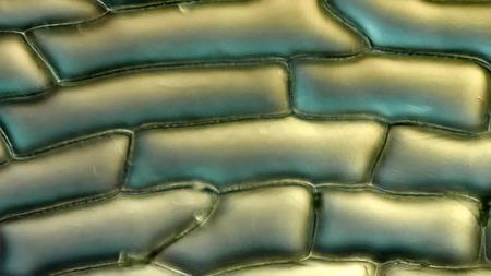 epiderme: Les parois cellulaires et des organites des cellules de l'�piderme � l'�chelle du bulbe d'oignon