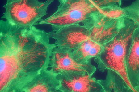Microfilaments, mitochondria, and nuclei in fibroblast cells Stock Photo