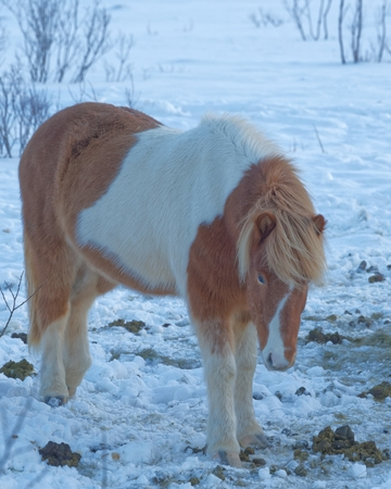 developed: Icelandic horse is a breed of horse developed in Iceland. The horses are small, at times pony-sized. Stock Photo