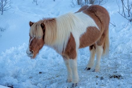 Icelandic horse is a breed of horse developed in Iceland. The horses are small, at times pony-sized. Stock Photo