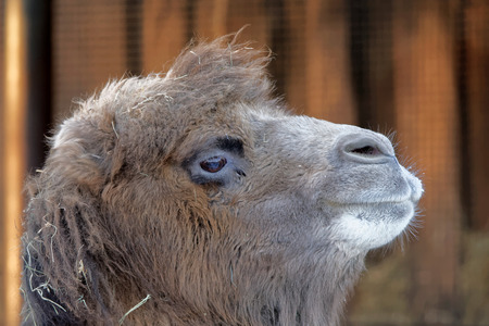 toed: Bactrian camel (Camelus bactrianus) is a large, even-toed ungulate native to the steppes of Central Asia. Of the two species of camel, it is by far the rarer.
