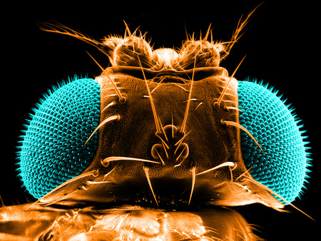 Portrait of a fruit fly, Drosophila melanogaster, scanning electron microscopy Stock Photo