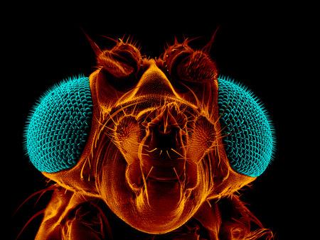 microscopy: Portrait of a fruit fly, Drosophila melanogaster, scanning electron microscopy Stock Photo