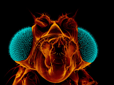 Portrait of a fruit fly, Drosophila melanogaster, scanning electron microscopy Stockfoto