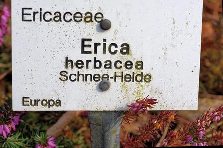ericaceae: Erica carnea (brughiera inverno, inverno fioritura di erica, brughiera primavera, brughiera alpina) � una specie di pianta della famiglia Ericaceae.