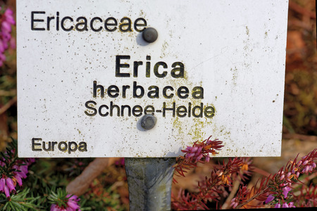 erica: Erica carnea (winter heath, winter flowering heather, spring heath, alpine heath) is a species of flowering plant in the family Ericaceae.
