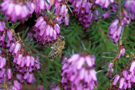 erica: Erica carnea (winter heath, winter flowering heather, spring heath, alpine heath) is a species of flowering plant in the family Ericaceae.