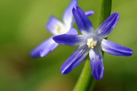 glory of the snow: Chionodoxa luciliae