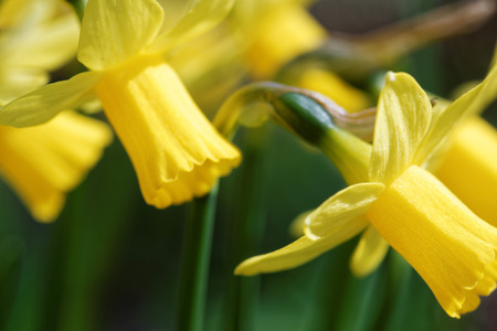 perianth: Sprouting yellow narcissus flowers with trumpet-like corona surrounded by perianth