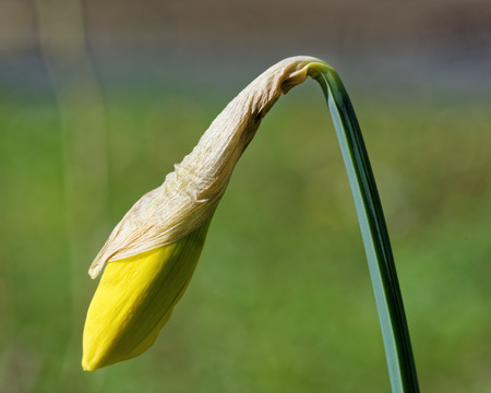 perianth: Sprouting yellow narcissus flower with trumpet-like corona surrounded by perianth