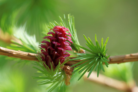 larch: Ovulate cones (strobiles) of larch tree, spring, beginning of May