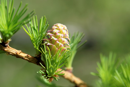 ovulate: Ovulate cones (strobiles) of larch tree, spring, beginning of May