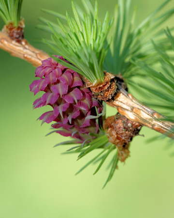 ovulate: Ovulate cones strobiles of larch tree spring beginning of May
