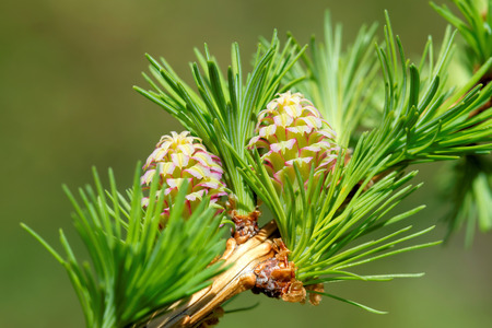 larch tree: Ovulate cones (strobiles) of larch tree, spring, beginning of May